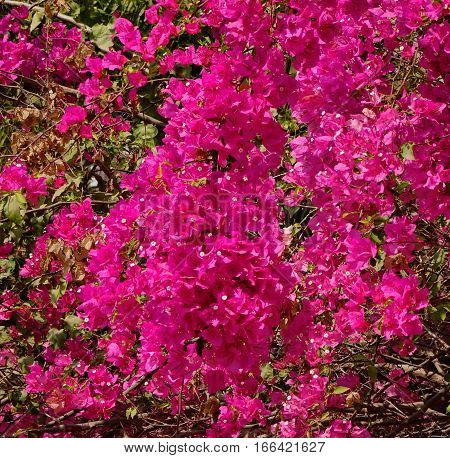 Beautiful Magenta Bougainvillea Paper Flowers