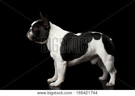 White French Bulldog Dog bellied Standing isolated on black background, side view