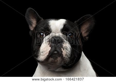 Close-up headshot of White French Bulldog Dog isolated on black background