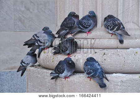 Pigeons sleeping during winter at the bottom of a concrete column