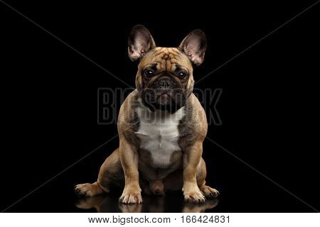 Fawn French Bulldog Dog Sitting and staring in camera on isolated black background, front view