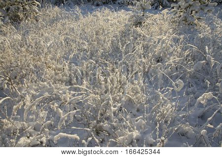 The dry grass brought by snow in beams of a rising sun