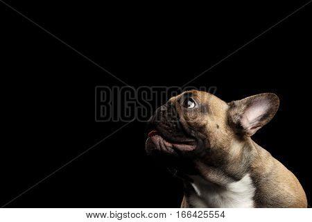 Close-up headshot of Fawn French Bulldog Dog Amazement Staring up, opened mouth on isolated black background, profile view