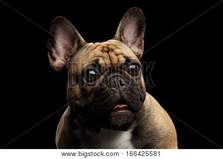 Close-up headshot of Fawn French Bulldog Dog Amazement Staring, Surprised opened mouth with Big round eyes on isolated black background, front view