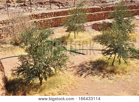 Olive trees with irrigation system in the desert oasis garden