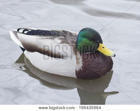 Drake mallard swimming in water closeup portrait with reflection selective focus shallow DOF