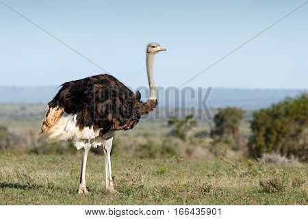 Female Ostrich Standing Straight