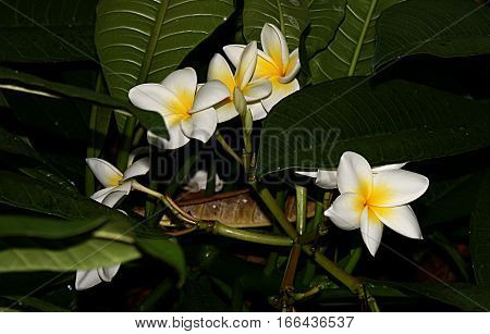 Plumeria alba,Tenerife,small tree, its branches, evergreen of emanating in case of injury a rich latex. Produces clusters of large, fragrant white flowers have a yellow tint in the base