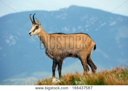 Wild nature in Slovakia Chamois at day