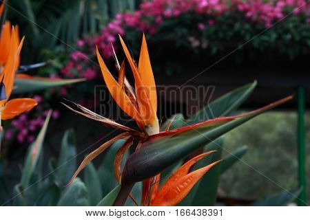 The bird of paradise flower is a perennial herb of great development and invigorated ,, Strelitzia reginae flowers. 5-8 flowers formed by large orange-yellow sepals and three petals deep blue,