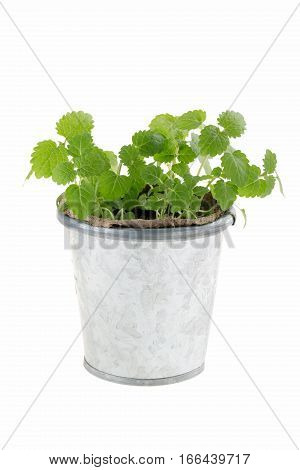 Balm mint sprouts in metal flower pot isolated on white. Lemon balm (Melissa officinalis). Young sprouts ready for planting. Gardening concept.