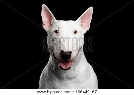 Close-up portrait of Happy White Bull Terrier Dog Smiling on isolated black background, front view