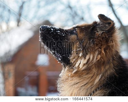 Smart attentive dog. The dog looks up at the sky. Winter snow. Portrait of a shepherd