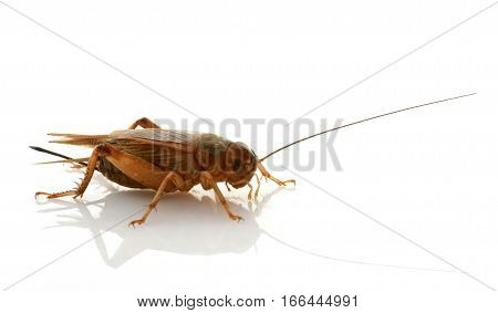 brown cricket in front of white background