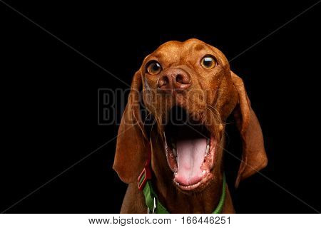 Close-up Portrait of Surprised Hungarian Vizsla Dog with Big Eyes Amazement opened mouth on isolated black background, front view