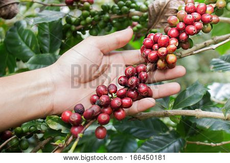 Close up red berries coffee beans on agriculturist hand