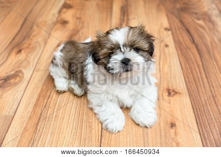 Young Chi Chu puppy lying on parquet flooring