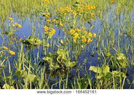 Marsh Marigold (Caltha palustris) on wet meadow