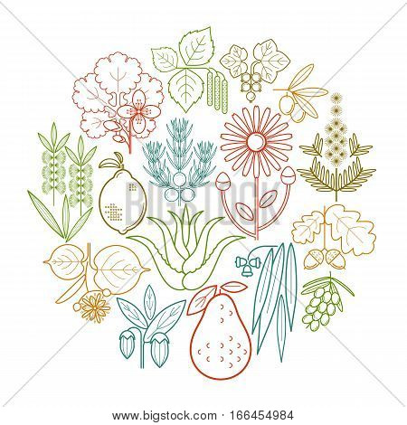 Set medical color herbs in circle. Currant olive juniper celandine sage avocado arnica acacia lime tea tree oak buckthorn eucalyptus birch lemon aloe jojoba. Vector. White and black.