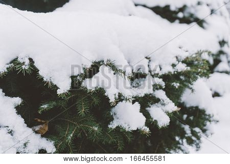 spruce branches under the snow. Spruce tree for the new year. Beautiful snow covered tree as symbol of Christmas