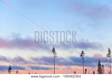 Mysterious trees at sunrise. Nature dawn with pine in the sky and flying clouds. The landscape of the Northern nature. Panorama sky and air for background. Forest the harsh edges of Alaska.