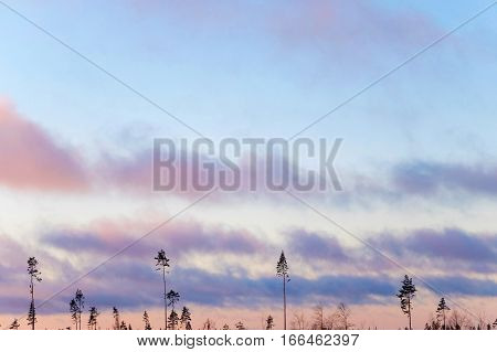 Mysterious trees at sunset. Nature with pine in the sky and flying clouds. The landscape of the Northern. Panorama sky and air for background. Forest the harsh edges of Alaska.