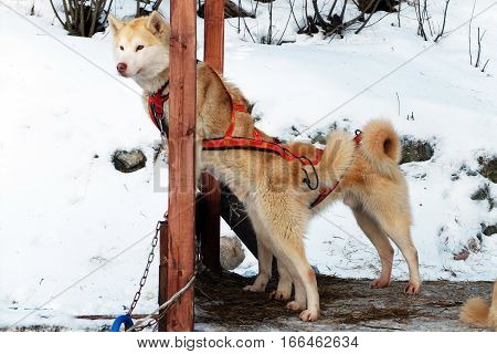 Sled Husky expect. Working sled dogs of the North. Husky sledding in the winter. North active dog in the harnesses to drive in the snow.