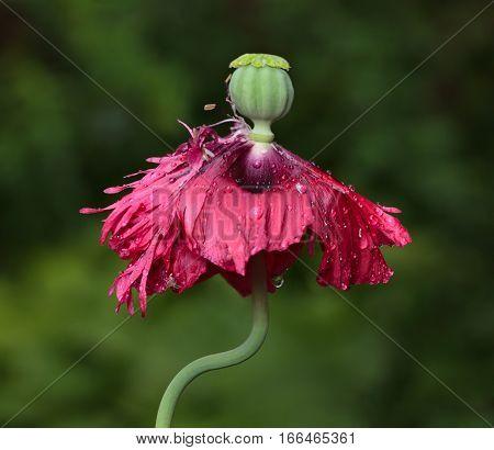 New Born Poppy Seed Capsule