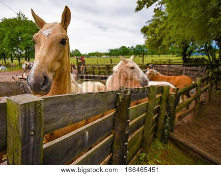 Buckskin horses standing in a paddock at midday.