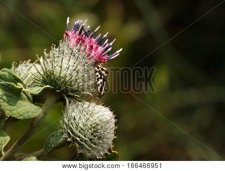 Macro of thorny Spear Thistle (Cirsium vulgare) flower