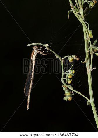 Dragonflies Hooks Under Leaf
