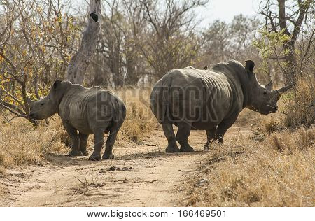Rhinoceros mother and son walking around the sunny savanna