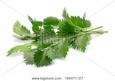 True Anise (pimpinella Anisum) Leaves, Paths