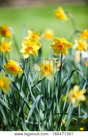 Shallow focus on daffodils growing on a bright and sunny English springtime meadow.