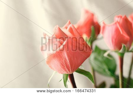 Pink Roses, Flowers on White Background, card for Valentines day, copy space, Pastel Color, toned