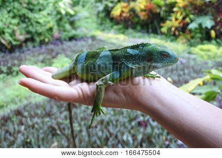 Person holds a Fiji banded iguana.Fiji iguanas are considered a national treasure by the government of Fiji and its likeness has been featured on postage stamps currency and phone book covers.