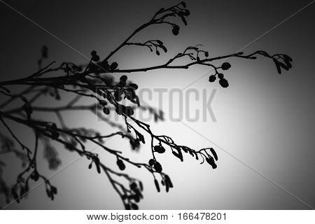 Alder Tree Branches, Black And White