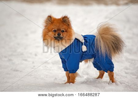 The puppy in the blue sweater, dress is staying and looking to the right in winter with white scarf