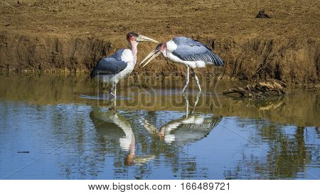 Marabou stork  in Kruger national park, South Africa ; Specie Leptoptilos crumenifer family of Ciconiidae