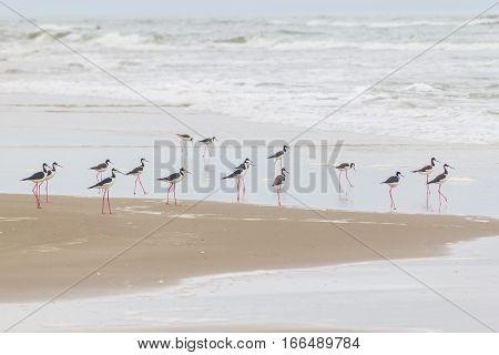 Black-winged Stilt On The Beach