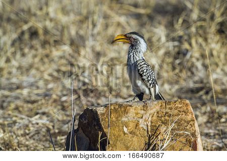 Yellow-billed hornbill in Kruger national park, South Africa ; Specie Tockus leucomelas family of Bucerotidae