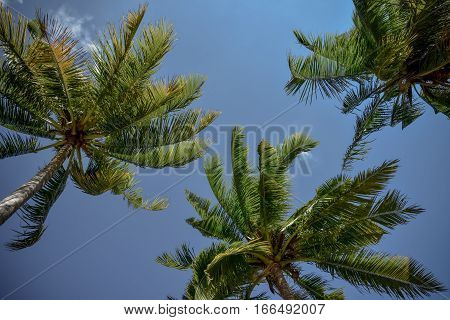 A group of coconut tree tops with sky and clouds