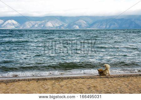 Cute orange dog plays with wave on sand coast of mountain lake