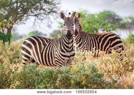 Wild Zebras On Savanna, Kenya, East Africa