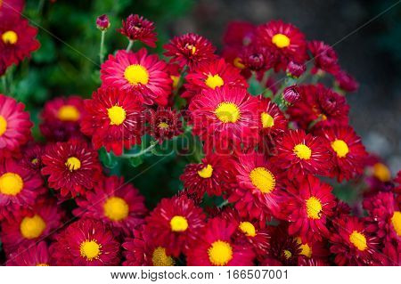 beautiful red of Chrysanthemum flowers. gardening. floriculture