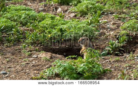 Cute Wild Gopher Looking Out Of Hole