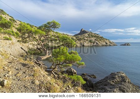 Relict pine tree on a cliff against the sea. Crimea September.