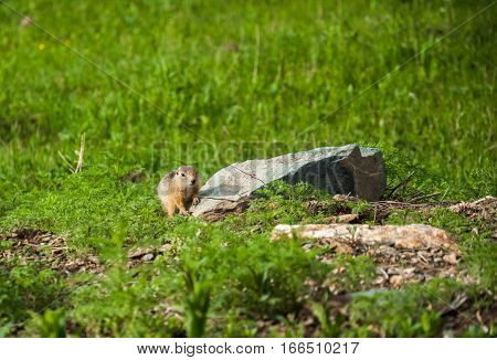 Cute Wild Gophers In The Grass
