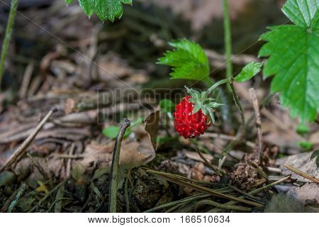 Duchesnea indica or sometimes called Potentilla indica known commonly as mock strawberry, Gurbir, Indian strawberry or false strawberry