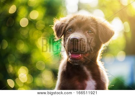 Labrador Dog Head Shot With Bokeh